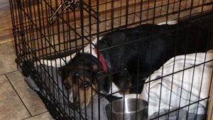 Buddy Wingo, beagle