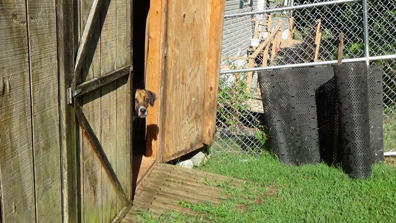 Jasper Barn dog