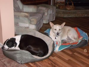 Cochise takes Blondie's new bed.