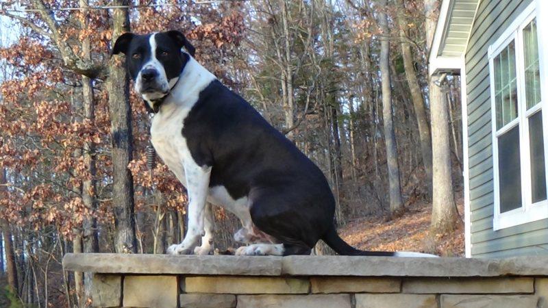 Cochise Mentor dog