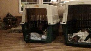 cora resting in crate