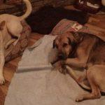 Blondie & Lancelot resting