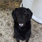Retriever/Labrador mix foster