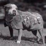 Sergeatn Stubby pit bull